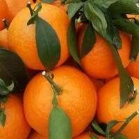 基地直销 品质优秀  黄岩先富杨梅苗木场 红美人柑橘苗两年苗 100颗起批
