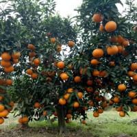 现货供应 品质优秀  黄岩先富杨梅苗木场 红美人柑橘苗两年苗 100颗起批